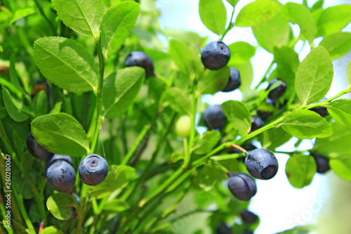 Obraz Ripe berries of bilberry grow in forest. Harvesting whortleberries - fototapety do salonu