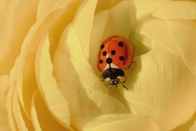 Lovely Lady Bug Sitting On The...