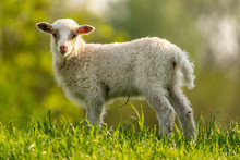 Curious Lamb On A Meadow Looki...