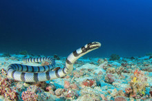 Banded Sea Krait (Snake)