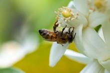 Honey Bee On Orange Tree Bloss...