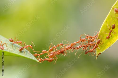 Crédence de cuisine en verre imprimé Macro photographie Ant action standing.Ant bridge unity team,Concept team work together