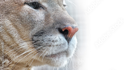 Cadres-photo bureau Puma cougar face portrait closeup side view isolated on white background big cat animal natural beige color fur in wildlife beautiful lion mammal parts with eyes and nose design copy space template