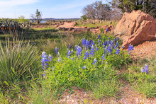 Blubonnets On Hiking Trail Thru Texas State Park In Early Spring