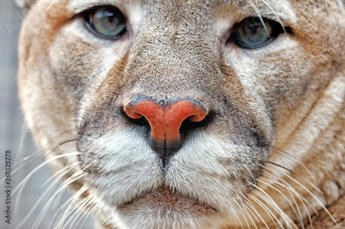Photo Stands Panther cougar face portrait closeup front view isolated on white background big cat animal natural beige color fur in wildlife beautiful lion mammal parts with eyes and nose design copy space template