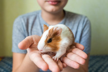 Closeup Portrait Of Cute Small White And Brown Baby Guinea Pig Sitting In Hands Of Happy Young Kid At Home. Horizontal Color Photography.