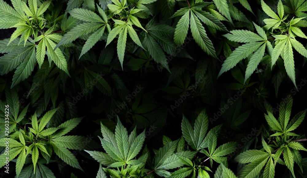 Fototapety, obrazy: Cannabis Sativa Leaves On Dark - Medical Legal Marijuana