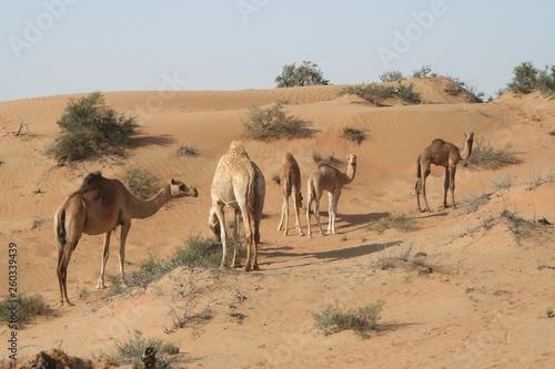Spoed Foto op Canvas Herd of dromedary in isolated Oman desert