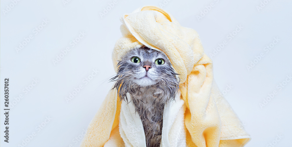 Fototapeta Funny smiling wet gray tabby cute kitten after bath wrapped in yellow towel with green eyes. Pets and lifestyle concept. Just washed lovely fluffy cat with towel around his head on grey background.