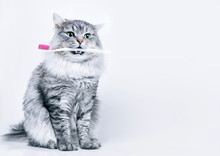 Funny Smiling Gray Tabby Cute Kitten With Green Eyes Brushing His Teeth. Pets Care And Lifestyle Concept. Lovely Fluffy Cat With Toothbrush In Mouth On Grey Background.