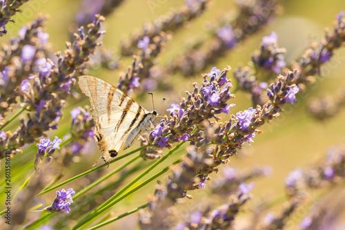 Fotografie, Obraz  Scarce swallowtail butterfly (Iphiclides podalirius) butterfly on purple lavende