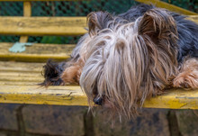 An Unkept Stray Dog Sleeps On A Yellow Park Bench Image With Copy Space In Landscape Format