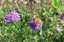 Vanessa Cardui, A Well Known Colorful Butterfly, Known As The Painted Lady, Hungrily Collecting Nectar From A Beautiful Purple And White Pincushion Flower.