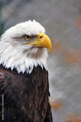 In de dag Eagle Bald eagle (Haliaeetus leucocephalus)