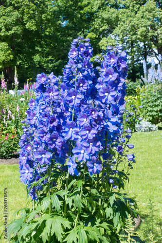 Canvas Blooming delphinium in the park.