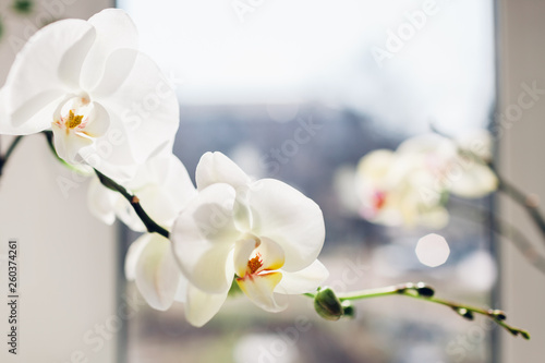 Fotobehang Orchidee Close-up of white orchid by the window. Home flowers