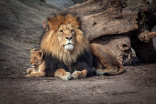 Proud Lion And Baby Cub Standi...