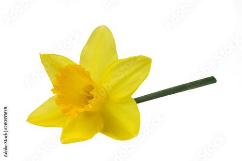 Pojedyncze zdjęcie pięknego żółtego żonkila.
