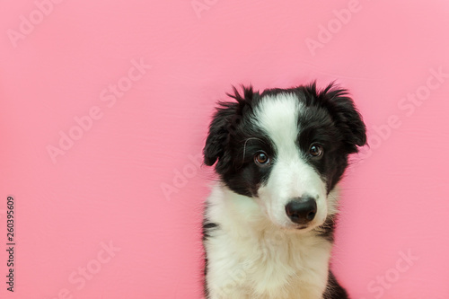 Funny studio portrait of cute smilling puppy dog border collie on pink pastel background - 260395609