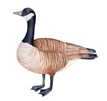 Standing Canada Goose (Branta Canadensis) Watercolor Illustration. One Single Bird, Side View. Symbol Of Sociability, Prosperity, Peace. Handdrawn Water Color Graphic Drawing, Cutout Design Element.