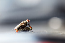 Close Up Of Fly Mating With Co...