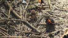 Pompilid Wasps Attacking Anoth...