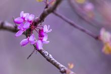 Redbuds Pink Flowers In Spring Season Arta Greece