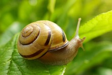 Snail On A Green Leaf In The B...