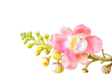 Flower Of Cannon Ball Tree, Sal Tree, Sal Of India, Isolated On White Background