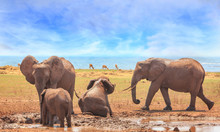 Family Herd Of Elephants Enjoy...