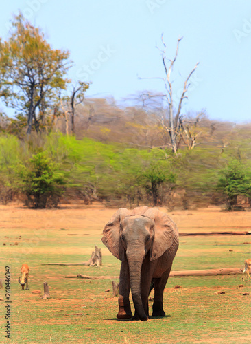 Fotografia  Portrait of a solitary African Elephant standing on the lush green plains with impala feeding in the background, there is a natural tree and bush background