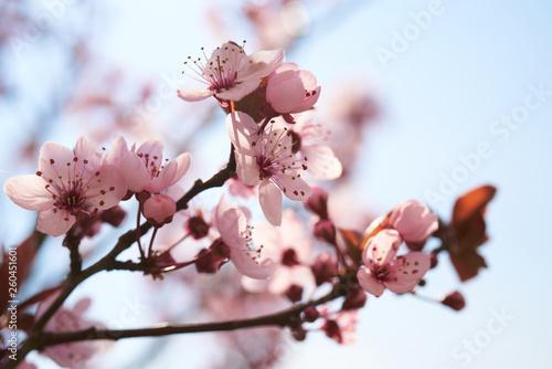 Obraz Kwitnące drzewa - fototapety do salonu