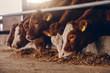Leinwandbild Motiv Close up of calves on animal farm eating food. Meat industry concept.