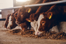 Close Up Of Calves On Animal Farm Eating Food. Meat Industry Concept.