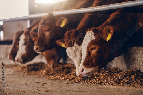Fotobehang Koe Close up of calves on animal farm eating food. Meat industry concept.