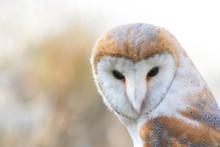 The Barn Owl, Tyto Alba, Close-up Portrait.