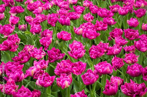 Spoed Fotobehang Roze Beautiful sping flowers - tulips, narcissus