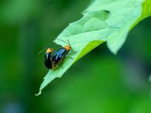 ウリハムシ 瓜葉虫 クロウリハムシ
