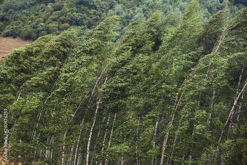 Fototapeta Strong winds make trees bow
