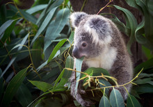 Koala Eating Eucalyptus Leaves.