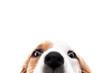 Süßer Hund versteckt sich und guckt hervor, freigestellt vor Weiß, Augen und Nase