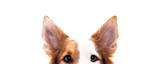 Fototapeta Zwierzęta - Panorama, Hund versteckt sich, Hintergrund Weiß, Augen und Ohren