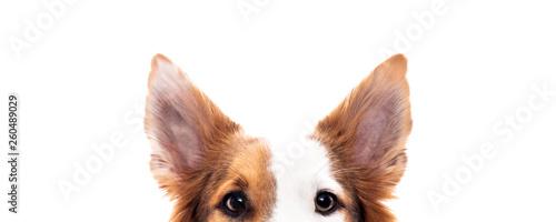 Leinwand Poster Panorama, Hund versteckt sich, Hintergrund Weiß, Augen und Ohren