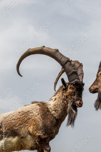 Photo Wild brown mountain goat with huge horns