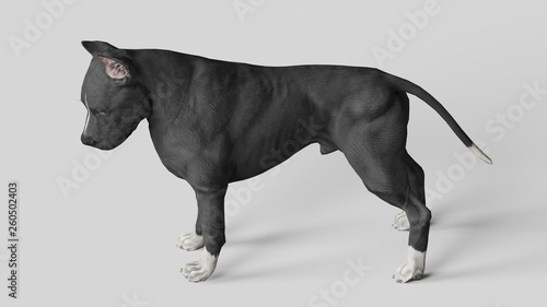 Pitbull looking down while standing on white floor 3d render