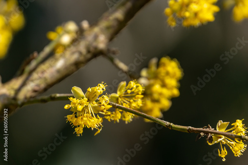 Beautiful twig with bright yellow flowers on blurred nature dark background Fototapet
