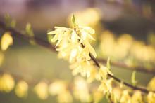 Forsythia Yellow Spring Flowers