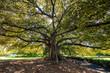 Leinwanddruck Bild - Fig tree in Sydney Botanical Gardens