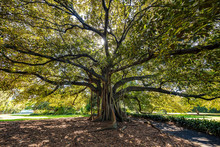 Fig Tree In Sydney Botanical Gardens