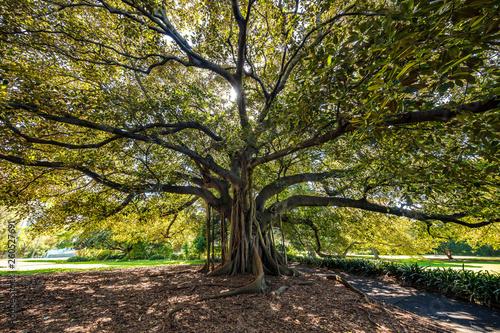 Photo Fig tree in Sydney Botanical Gardens
